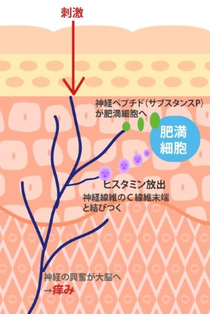 掻く行為が肌のバリア機能低下を招き、痒み物質を増加